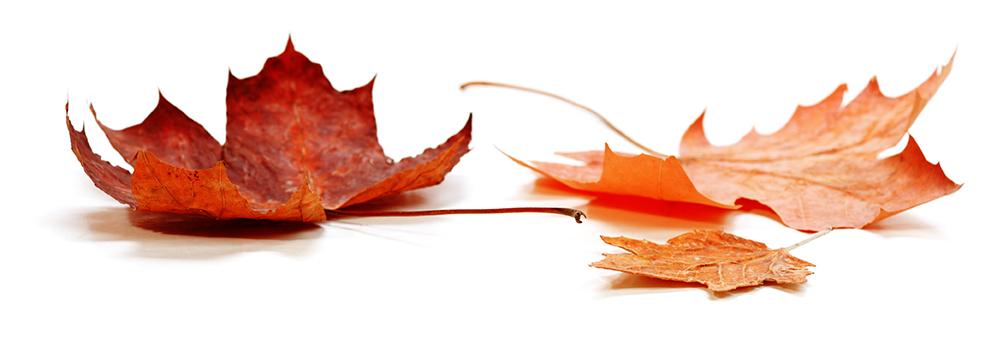 Folhas Maples